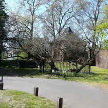 Charlton House mulberry tree