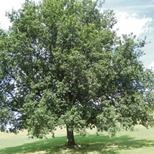 Shakespeare's tree