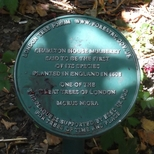 Charlton House mulberry tree - 2
