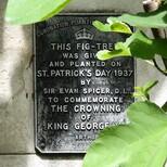 Coronation of George VI - fig tree